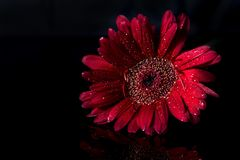 Red gerbera and reflection on black background with copy space royalty free stock image