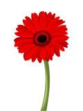 Red gerbera with stem. Vector illustration. Stock Photos