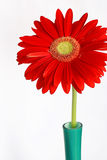 Red gerbera in vase Stock Images