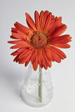 Red gerbera in vase Stock Photography