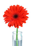 Red gerbera in vase - clipping path. Red gerbera in a vase closeup white background (clipping path for maximum size Stock Images