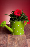Red Gerbera In Watering Can Royalty Free Stock Images