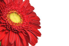 Red gerbera on a white background. Close-up Royalty Free Stock Photos