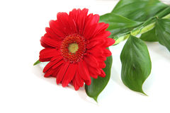Red gerbera on white background. Red gerbera with leaves on white background Stock Photo