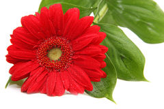 Red gerbera on white background. Red gerbera with leaves on white background Stock Images
