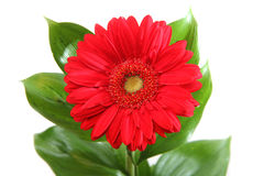 Red gerbera on white background. Red gerbera with leaves on white background Stock Image