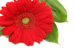 Red gerbera on white background. Red gerbera with leaves on white background Royalty Free Stock Photos