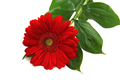 Red gerbera on white background. Red gerbera with leaves on white background Stock Photography