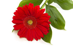 Red gerbera on white background. Red gerbera with leaves on white background Royalty Free Stock Images