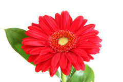 Red gerbera on white background. Red gerbera with leaves on white background Royalty Free Stock Image