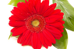 Red gerbera on white background. Red gerbera with leaves on white background Stock Photos