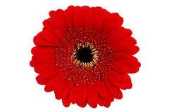 Red Gerbera on White Royalty Free Stock Photography