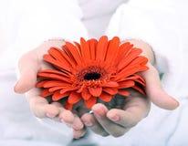 Red gerbera in women hand. Spa. Stock Image