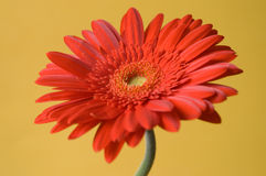Red Gerbera On Yellow Background Stock Images