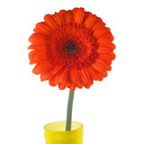 Red gerbera in yellow vase Royalty Free Stock Images