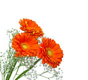 Red gerberas (african daisy) isolated on white Royalty Free Stock Photo