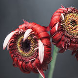 Red gerberas on a black background Royalty Free Stock Photo
