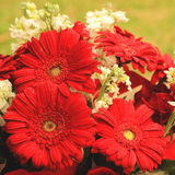 Red gerberas Stock Photography