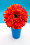 Red gerberas daisy on white and blue background. Extremely red gerberas flower in blue vaise on white-blue background Stock Image