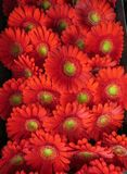 Red gerberas packed in a box for transportation royalty free stock images