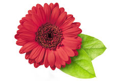 Red Gerberas Stock Photo