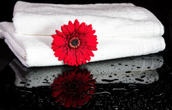 Red Gerbia inbetween towls. Red Gerbia in between two white towels with reflection in black, shiny surface Royalty Free Stock Photos