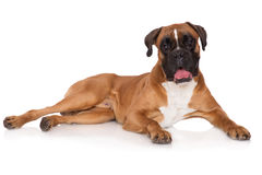 Red german boxer dog lying down Royalty Free Stock Photos