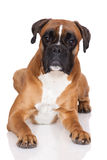 Red german boxer dog lying down Royalty Free Stock Images