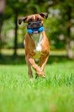 Red german boxer dog Royalty Free Stock Photo