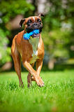 Red german boxer dog Stock Images