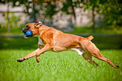 Red german boxer dog playing with a toy royalty free stock photo