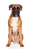 Red german boxer dog sitting on white Stock Images
