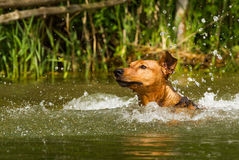 Red German Pinscher swimming Stock Images