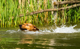 Red German Pinscher swimming. Adorable young purebred red German Pinscher energetically jumping into a lake and swiming to retrieve a stick. Close up with short Royalty Free Stock Photos