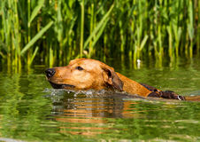 Red German Pinscher swimming. Adorable young purebred red German Pinscher energetically swiming in a lake to retrieve a stick. Close up with short time exposure Royalty Free Stock Images