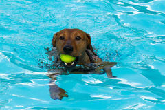 Red German Pinscher swimming. Energetic purebred red German Pinscher swimming, retrieving a doggy ball from a swimming pool on a sunny day Royalty Free Stock Image