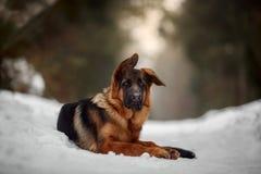 Red german shepard puppy winter portrait
