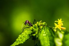 Red giant ants pecking. Red giant ants searching foods and pecking from plants stock photo