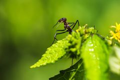 Red giant ants pecking. Red giant ants searching foods and pecking from plants royalty free stock image