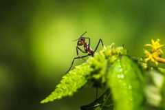 Red giant ants pecking. Red giant ants searching foods and pecking from plants stock images