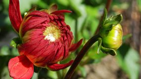 Red giant dahlia in garden. Red giant dahlia flowers and buds in sunny green garden stock photo