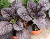 Red Giant mustard. Brassica integrifolia var rugosa, ornamental herb with large spreading thick undivided purple leaves, grown as ornamental royalty free stock images