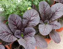 Red Giant mustard. Brassica integrifolia var rugosa, ornamental herb with large spreading thick undivided purple leaves, grown as ornamental stock photo