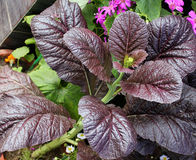Red Giant mustard. Brassica integrifolia var rugosa, ornamental herb with large spreading thick undivided purple leaves, grown as ornamental stock images