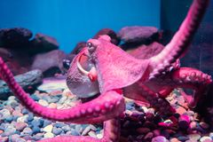 Red giant octopus sleeping in aquarium