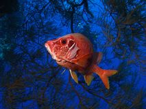 Red Giant squirrelfish in blue cave Stock Images