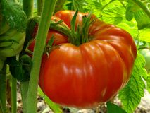 Red giant tomato Stock Images