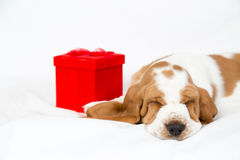 Red gift box and basset hound puppy. Adorable basset hound puppy with a red gift box sleeps facing camera stock photos
