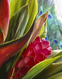 Red Ginger (Alpinia purpurata) Royalty Free Stock Photo