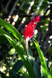 Red ginger blooming in garden Stock Image